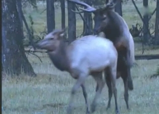 Good wild deer in the hottest documentary porn action